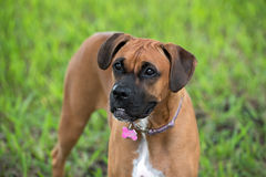 Beautiful female boxer canine Royalty Free Stock Image