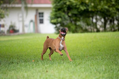 Beautiful female boxer canine Royalty Free Stock Photos