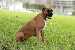Beautiful female boxer canine Stock Images