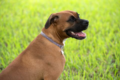 Beautiful female boxer canine Royalty Free Stock Photo