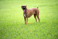 Beautiful female boxer canine Stock Photography