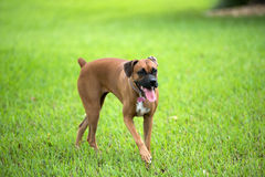 Beautiful female boxer canine Royalty Free Stock Photography