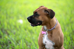 Beautiful female boxer canine Stock Photos