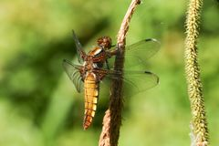 A pretty female Broad-bodied Chaser Libellula depressa perching on a reed. A beautiful female Broad-bodied Chaser Libellula depressa perching on a reed Stock Photo