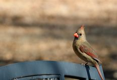 Female Cardinal on Park Bench Background. A beautiful female cardinal bird sitting on top of a gray park bench, with room for text royalty free stock images