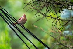 Female cardinal bird. Beautiful female cardinal bird on a wire royalty free stock image