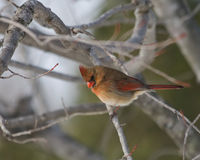 Beautiful female cardinal in oak tree Stock Photography