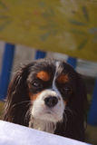 Beautiful female Cavalier King Charles Spaniel head with adorable eyes, nose and ears Royalty Free Stock Photo