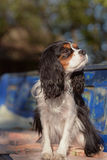 Beautiful female Cavalier King Charles Spaniel is sitting on the vintage bench and posing Royalty Free Stock Photography