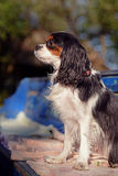 Beautiful female Cavalier King Charles Spaniel is sitting on the vintage bench and posing Stock Photos