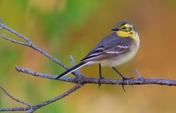 Graceful Female Citrine wagtail perched on branch with neat vivid background stock images