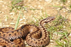 Beautiful female common adder Stock Photography