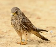 Common Kestrel Falco tinnunculus Royalty Free Stock Image