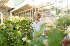 Beautiful female customer holding and smelling blooming yellow potted roses in greenhouse. Royalty Free Stock Photos