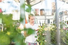 Beautiful female customer holding and smelling blooming yellow potted roses in greenhouse. Royalty Free Stock Images