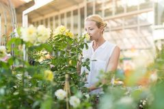 Beautiful female customer holding and smelling blooming yellow potted roses in greenhouse. Royalty Free Stock Photography