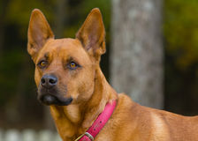 Dog. Akita Rottweiller female dog posing for a portrait Royalty Free Stock Images