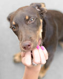 Beautiful female dog puppy. Is fed by her owner Royalty Free Stock Photos