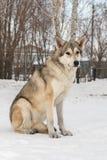 Beautiful female dog of Saarloos wolfhound in winter park. Beautiful female dog of Saarloos wolfhound in the winter park Royalty Free Stock Photography