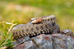 Beautiful female european common adder Royalty Free Stock Photography