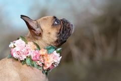 Beautiful female fawn French Bulldog dog with a collar made of roses and other flowers around her neck royalty free stock images