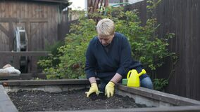 Beautiful female gardener replanting young pepper plant from pot to garden soil
