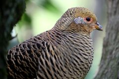 Beautiful Female Golden Pheasant Bird Royalty Free Stock Images