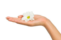 Beautiful female hand with flower Royalty Free Stock Image