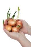 Beautiful female hand keeps onion (isolated) Royalty Free Stock Photos