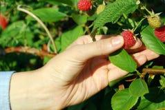Beautiful female hand picking ripe raspberries Stock Images
