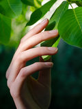 Beautiful female hand touching leaves of walnut tree in spring Royalty Free Stock Images