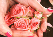 Beautiful pink roses held in female hands Royalty Free Stock Images