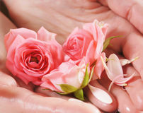 Beautiful pink roses held in female hands Stock Image