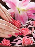 Beautiful pink roses held in female hands Royalty Free Stock Photos
