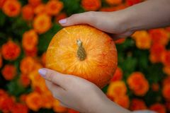 Bright orange pumpkin in hands royalty free stock photography