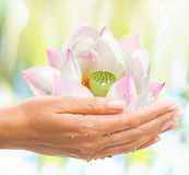 Beautiful Female hands with Shiny Pink Lotos. — exotic tropical flower on light background Stock Images