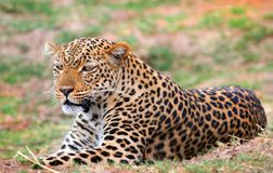 Beautiful female leopard resting and looking alert on the plains in south lang. national park, zambia. African Leoprd Panthera Pardus lying down on the african stock images