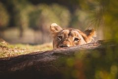 Female lion poking her head above a log. Lion face looking at camera, background and foreground blurred stock photography