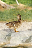 A beautiful female  Mallard duck. The Mallard lives in wetlands, eats water plants, and is gregarious Stock Images