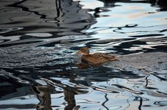 Beautiful female mallard duck swimming in cold harbor sea. Water in wintertime Royalty Free Stock Photography