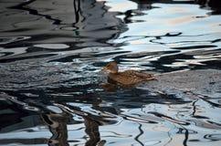 Beautiful female mallard duck swimming in cold harbor sea Royalty Free Stock Photography