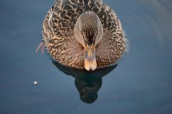 Beautiful female mallard duck swimming in cold harbor sea water Stock Photo