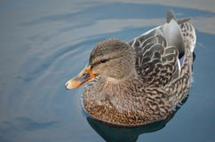 Beautiful female mallard duck swimming in cold harbor sea water. In wintertime Stock Photography