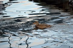 Beautiful female mallard duck swimming in cold harbor sea water. In wintertime Royalty Free Stock Images