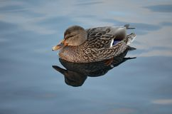 Beautiful female mallard duck swimming in cold harbor sea water Stock Photography