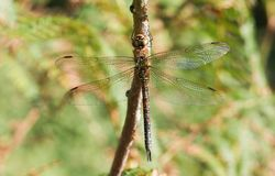 A pretty female Migrant Hawker Dragonfly Aeshna mixta perching on a twig. royalty free stock photography