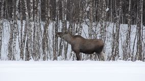 Beautiful female moose feeding on forest foliage in frozen arctic circle winter landscape