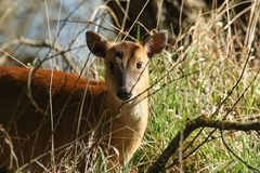 A beautiful female Muntjac Deer Muntiacus reevesi feeding in the undergrowth at the edge of woodland. A pretty female Muntjac Deer Muntiacus reevesi feeding in Stock Photography
