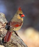 Beautiful Female Northern Cardinal. Vertical portrait of a female northern cardinal stock photos