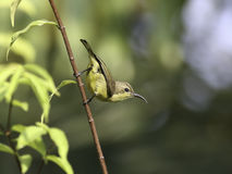 Beautiful female Olive-backed sunbird on branches of tree Royalty Free Stock Images